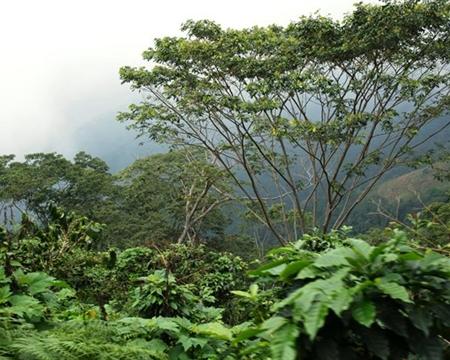 Caturra, Catuai, Obata, and Sarchimor COOPEPALMARES Palmares, Alajuela, Costa Rica.