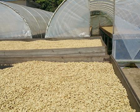 Beneficio San Vicente Bourbon, Catuai, Caturra, and Pacas Peña Blanca, Santa Barbara, Honduras