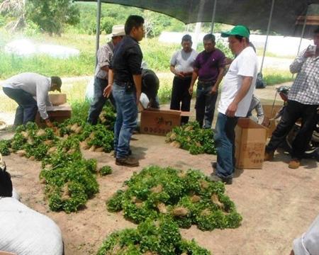 Chiapas, Bourbon, Catuai, Caturra, Mundo Novo, and Typica Mexico Sociedad de Producción Rural Unión de Ejidos y Comunidades San Fernando