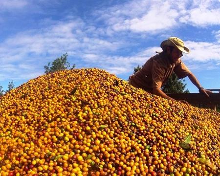 CHAPADA DIAMANTIN Catuaí Ibicoara, Bahia, Brazil Fazenda Floresta / Luca Allegro
