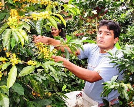 peru norte San Ignacio, CENFROCAFE Bourbon, Catimor, Caturra, Mundo Novo, Pache, and Typica Cajamarca