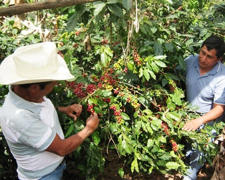 ADIESTO Huehuetenango Bourbon, Catuai, Caturra, and Typica Guatemala
