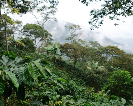 Caturra, Castillo, and Typica Huila, Colombia Caturra, Castillo, and Typica