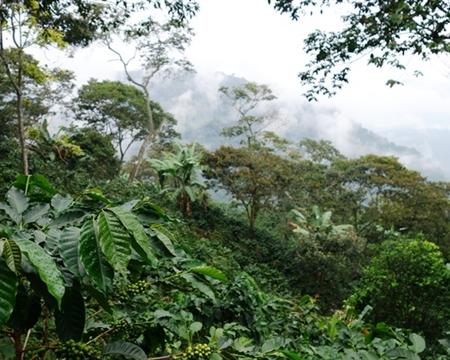 Caturra, Castillo, and Typica Huila, Colombia Caturra, Castillo, and Typica