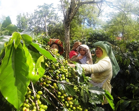 Jagong Mill Aceh, Mandheling Bourbon, Catimor, and Typica Sumatra, Indonesia