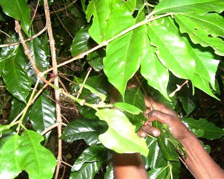 SOAC Bourbon, Typica Chimbu Province, Papua New Guinea