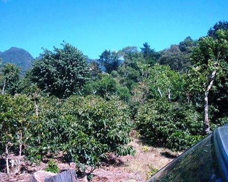 Bourbon, Catuai, Caturra, and Typica Boquete, Chiriqui, Panama Ruíz Family Maunier Estate