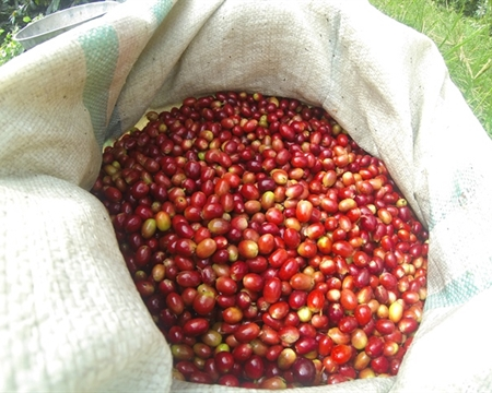 KKGO Bourbon, TAKENGON Catimor, Aceh, Sumatra, Indonesia and Typica