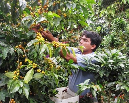 Peru Norte Bourbon, Catimor, Caturra, Mundo Novo, Pache, and Typica CENFROCAFE San Ignacio, Cajamarca