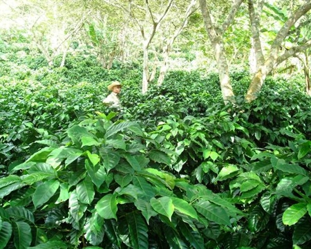 Honduras COHORSIL Siguatepeque Bourbon, Catuai, Caturra, and Pacas Comayagua Cerro Azul SHG EP (cerroazul)