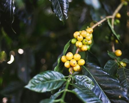 CoopePalmares Alajuela, Caturra & Catuai Costa Rica