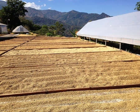 COOPETARRAZÚ Caturra, Catuai San José in Costa Rica