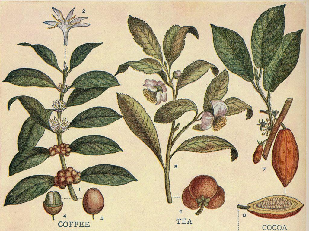 caffeine-plants-crop