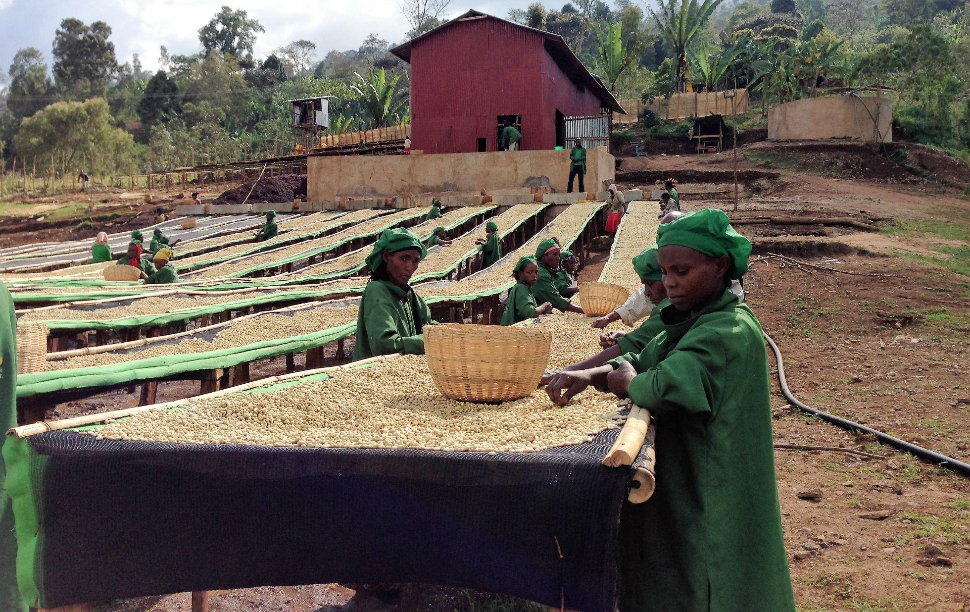 ETHIOPIA HAMBELA 1 ORGANIC ALAKA LOT 135 GRAINPRO     Royal Coffee