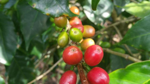 Brasil mogiana bourbon mondo novo Cooperativa Regional de Cafeicultores em Guaxupé