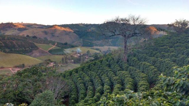 Mogiana Bourbon, Mondo Novo hybrid Brazil