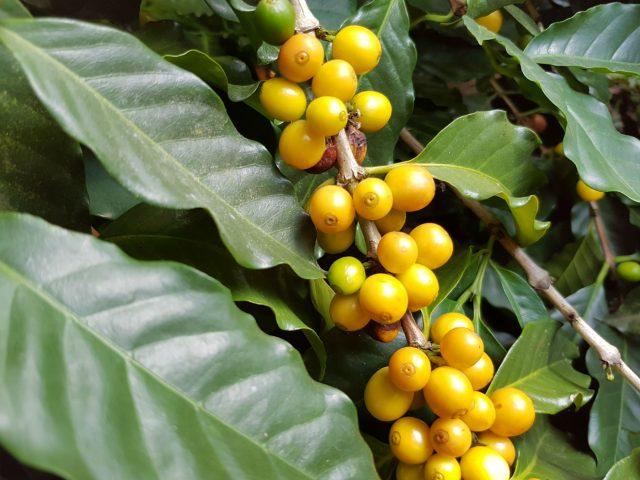 Fazenda Rainha Yellow Bourbon São Sebastião da Grama, São Paulo, Brazil