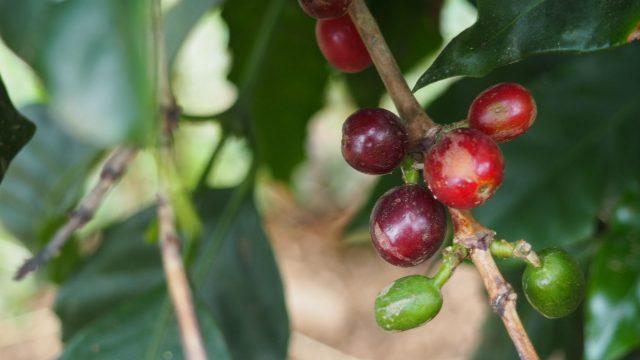 J&M Family Coffee Caturra, Catuai, Bourbon, Catimor, and Marogogype Jinotega, Nicaragua