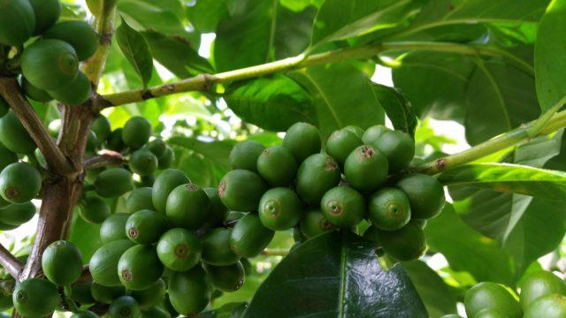 Bourbon, Pacas ACAPARSAR Juayúa, Sonsonate, El Salvador
