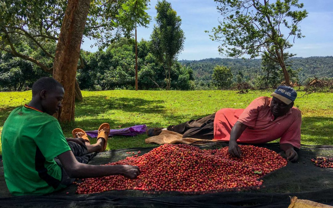 Kenya Red Cherry Project: So Much More than Ripe Fruit