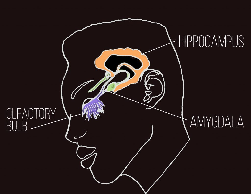 olfactory system