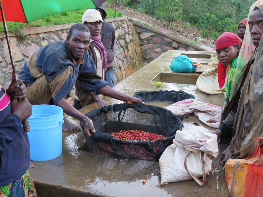 Floating cherry before pulping at Buzirwa Guhindwa washing station in Kayanza, Burundi
