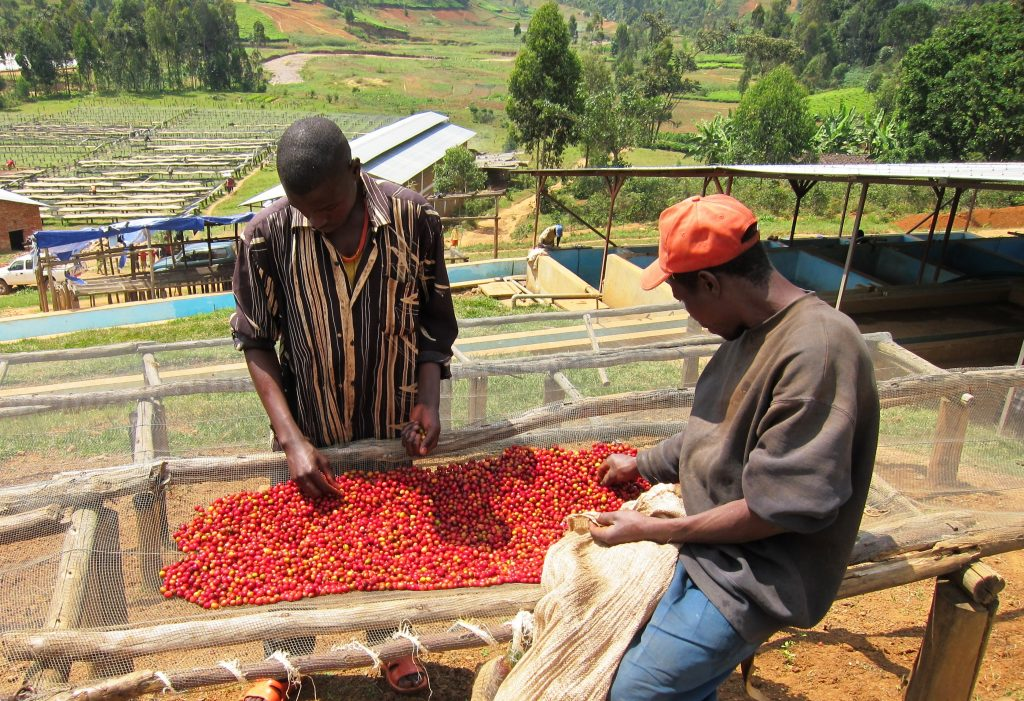 Sorting cherry at Dukunde Kawa cooperative in Gakenke, Rwanda