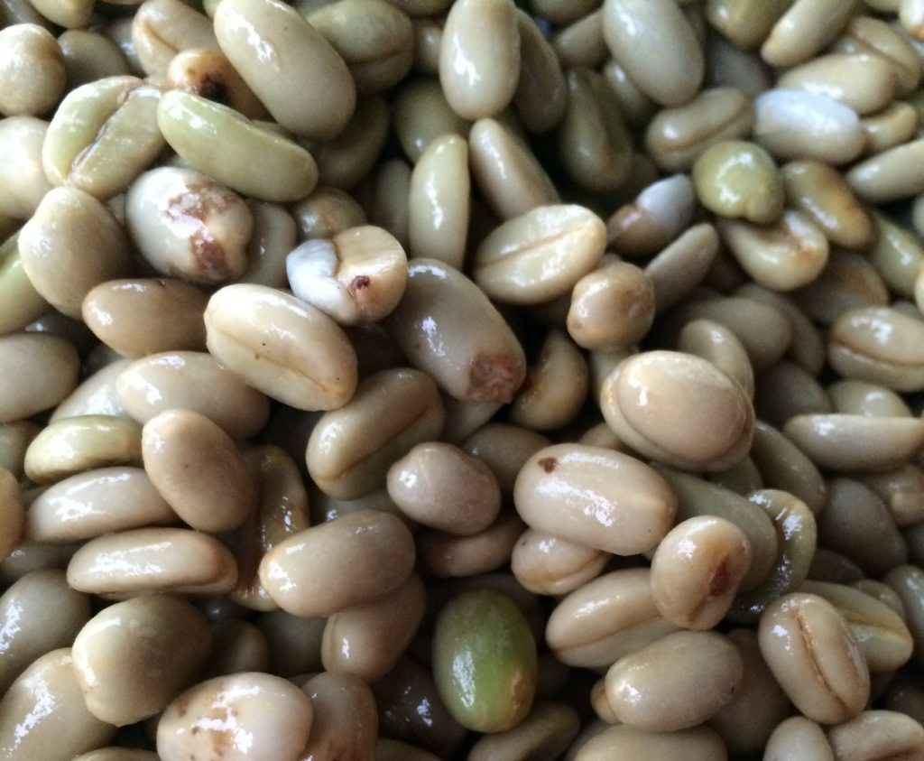 Wet parchment in Rwanda awaiting sorting
