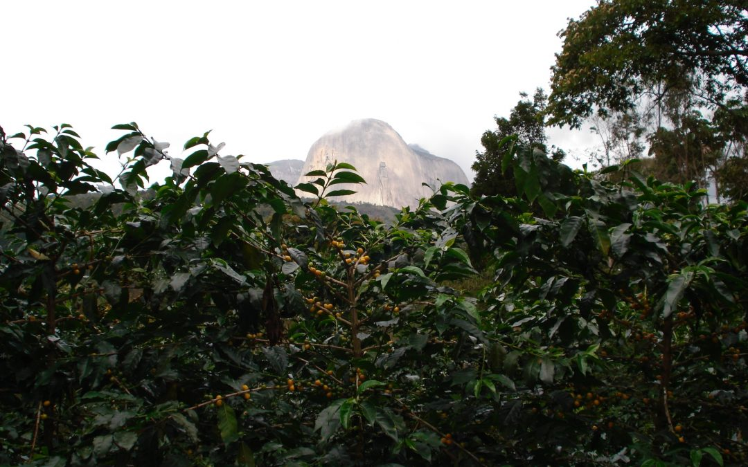 Crown Analysis: CJ1179 – Brazil Ibicoara Fazenda Floresta Natural Crown Jewel