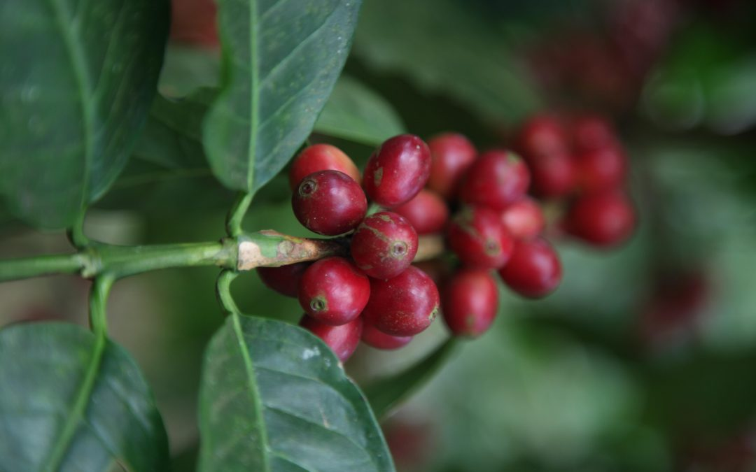 The Coffee Buyers' Cupping Table: Los Volcanes Coffee of Guatemala