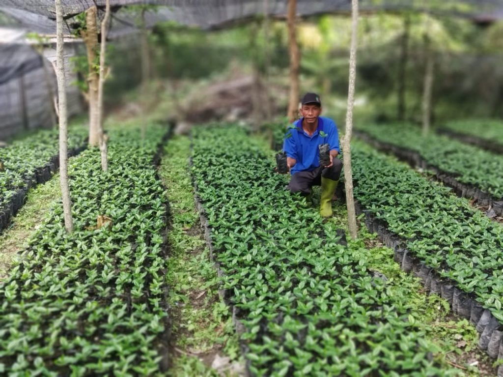 sumatra coffee nursery