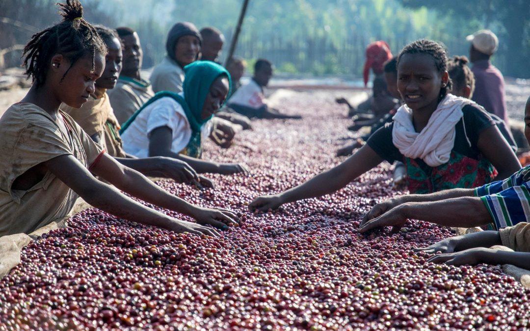 The Coffee Buyers' Cupping Table: Single Farmer Ethiopian Coffees