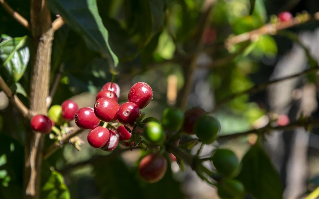 The Coffee Buyers' Cupping Table: Understanding Organic Coffees
