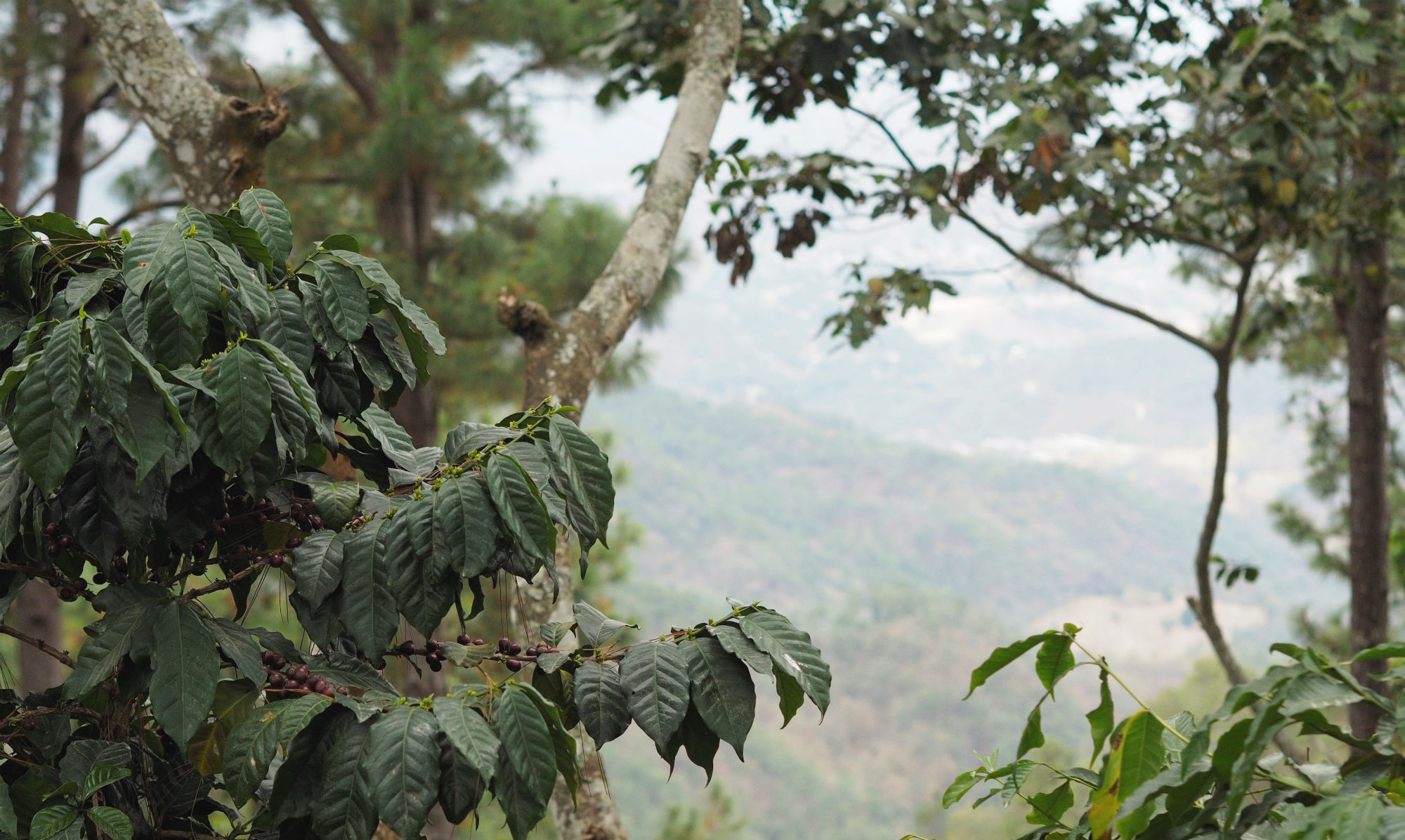 A view from Guate Finca San Lorenzo