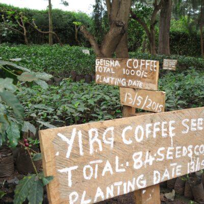 Crown Analysis: CJ1306 - Tanzania Ngorongoro Neel Vohora Ethiopian Landrace Crown Jewel