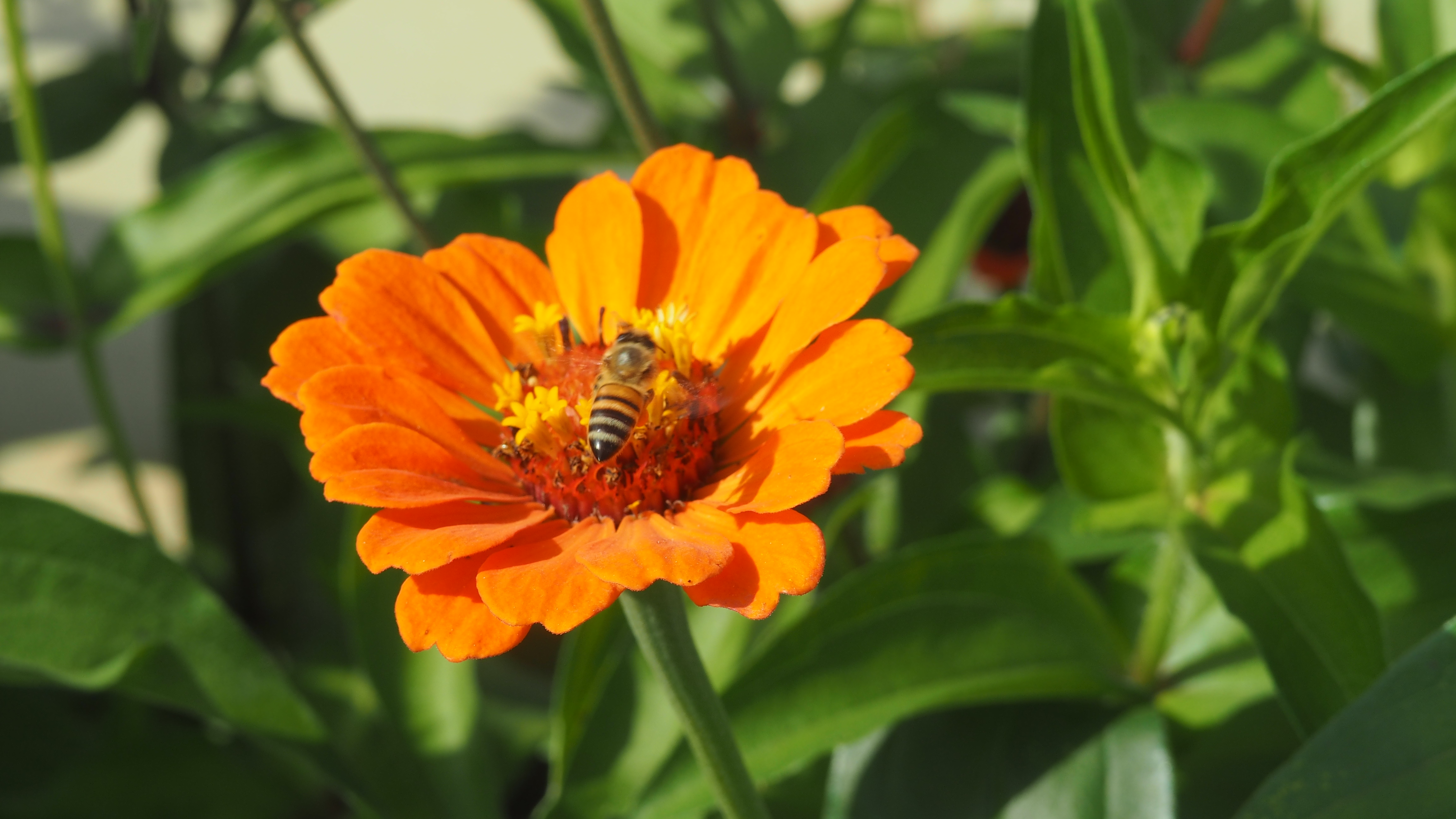 Bee landing on a flower in Santa Elena, Honduras