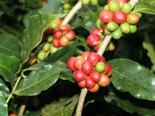 Typica Coffee