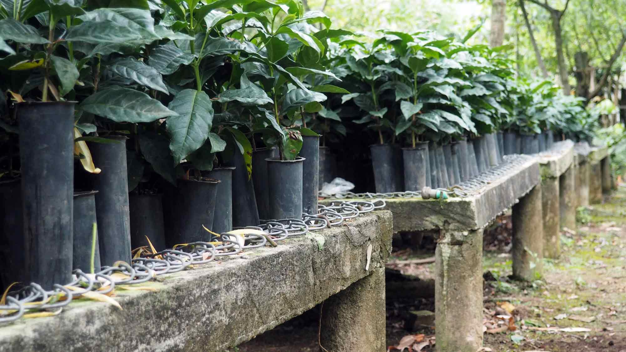 Looking Towards the Future of Guatemalan Coffee