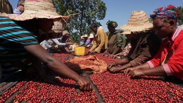 Sorting fresh cherry near Shakiso, Ethiopia