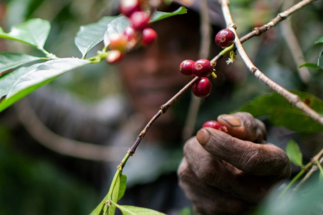 coffee beans being picked off plant